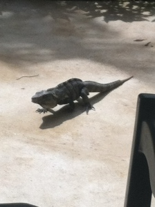 Didn't have good pics of frogs on my phone, but had plenty of pics of iguanas the size of a triceratops.