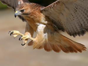So yeah, no. Not this hawk. Image via www.abc6.com